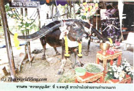 Bang Rachan buffalo