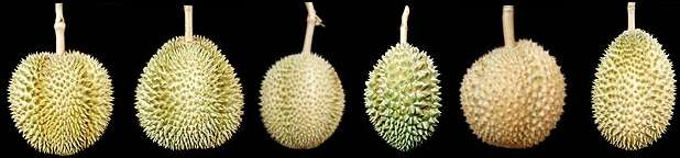 Old varieties of durians rarely seen in fruit markets